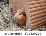 Portrait Of Cute Red Guinea Pi...