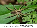This Is A Texas Wolf Spider  O...