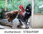 Colorful Rooster And Hen. Hen...