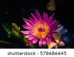 Colourful Blooming Lotus And...