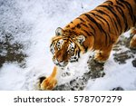 beautiful amur tiger on snow.... | Shutterstock . vector #578707279