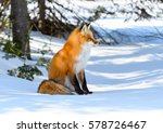 Red Fox Sitting On Snow In...