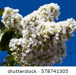 Magnificent Purest White...