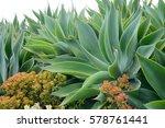 agave garden | Shutterstock . vector #578761441