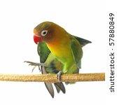 lovebird isolated on white...   Shutterstock . vector #57880849