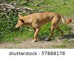 Dingo (Canis lupus dingo) walking the mouth open