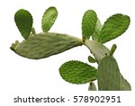 Opuntia Cactus Isolated On...