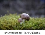 Small photo of A brown champignon mushroom (Agaricaceae) on green Moss in the nature