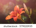 flower daylily. latin name... | Shutterstock . vector #579020935