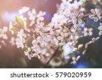 blossoming cherry  flowering... | Shutterstock . vector #579020959
