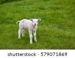 A Lamb Stands On Green Grass