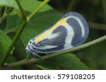 Small photo of Flatidae planthopper.