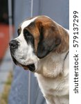 Small photo of Portrait of a big dog of breed of St. Bernard.