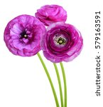 Small photo of persian buttercup (ranunculus) flower isolated white
