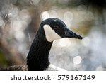 Close Canada Goose Portrait In...