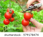 Picking Cherry Tomatoes In...