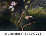 grey heron ready to take off... | Shutterstock . vector #579247285