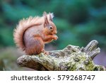 Red Squirrel In Woodland ...