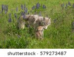 grey wolf  canis lupus  nuzzled ... | Shutterstock . vector #579273487