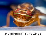 Small photo of Extreme and close up view of Male signal Fly (Diptera: Acalyptratae: Tephritoidea: Platystomatidae: Platystomatidae Scholastinae) head and face with green and magenta striped compound eyes