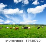 Cows On Green Meadow