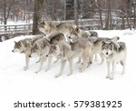 timber wolves  canis lupus  ... | Shutterstock . vector #579381925