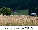 Flock of sheep grazing behind cornfield with shepherd and farm building in the background - stock photo