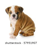 Stock photo eight week old english bulldog puppy sitting with reflection on white background 57951907