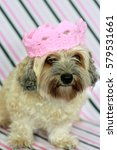 Small photo of Cute Fluffy Dog On Stripey Background Wearing Pink Crochet Crown Portrait