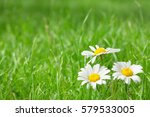 Chamomile Flowers On Grass...