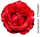 Stock photo red rose isolated on white background 579536887