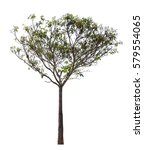 Small photo of Alstonia scholaris tree on white background,tree Isolated.