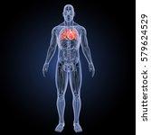 Human Heart Anterior View 3d...