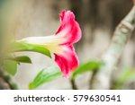 Azalea Flowers  Desert Rose ...