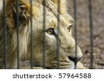 African Lion Close Up In Zoo