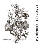 viola odorata. hand drawn... | Shutterstock .eps vector #579665881