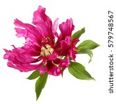 Stock photo unusual color magenta peony flower isolated on white background 579748567