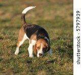 a beautiful beagle hound dog... | Shutterstock . vector #5797939