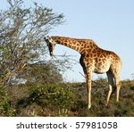 young giraffe chewing some... | Shutterstock . vector #57981058