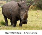 Large Male Rinoceros Grazing ...