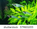 Flock Of Glass Catfish