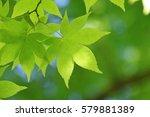 leaves of fresh green. leaves... | Shutterstock . vector #579881389