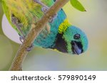 green headed tanager | Shutterstock . vector #579890149
