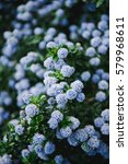 Small photo of Blue flowering ceanothus