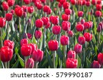 field of beautiful blooming red ... | Shutterstock . vector #579990187
