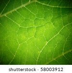 Cow Parsnip Green Leaf Texture.