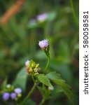 Small photo of Ageratum conyzoides grass herbs wild flowers. Common in Thailand