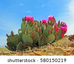 prickly pear cactus blooming | Shutterstock . vector #580150219
