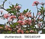 Pink Oleander  Nerium Oleander...