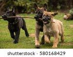 Stock photo three working line german shepherd puppies brings one stick 580168429